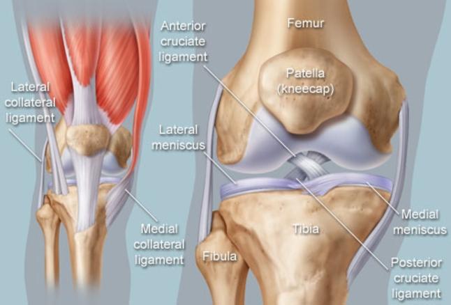 knee anatomy diagram