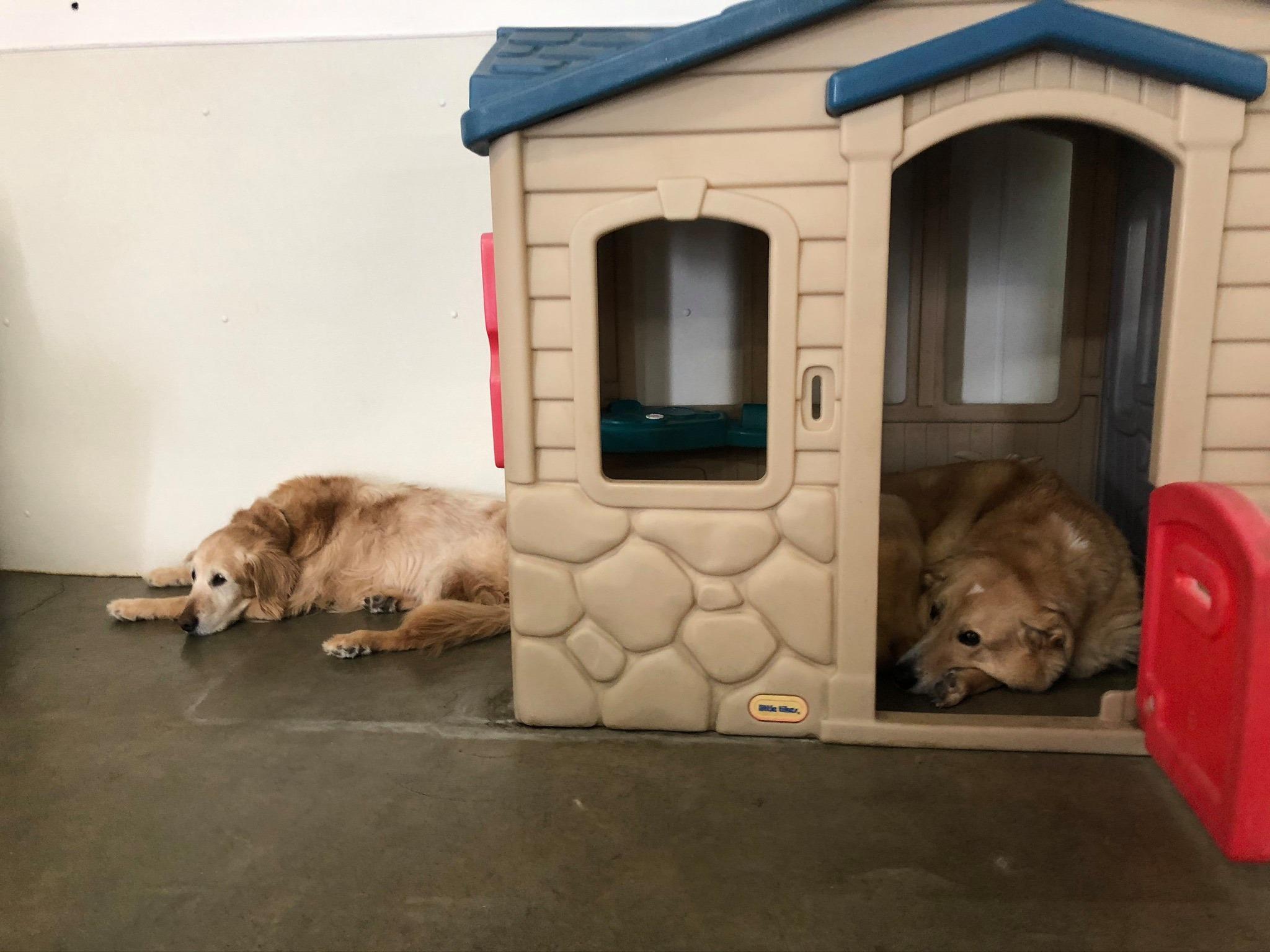 dog house lounging golden retriever bummed sleepy