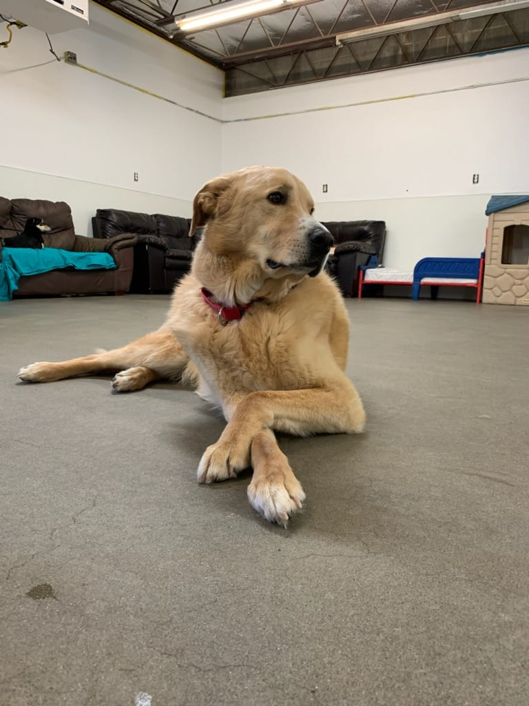 lab chilling relaxed pup old dog golden retriever doggy daycare