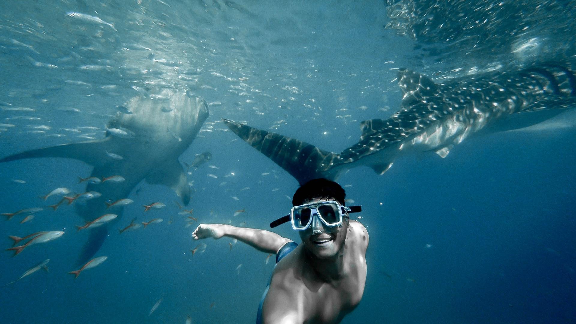 St. Helena Tourism - Whale Shark