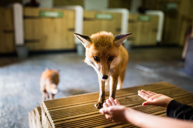 Gwel An Mor Foxes