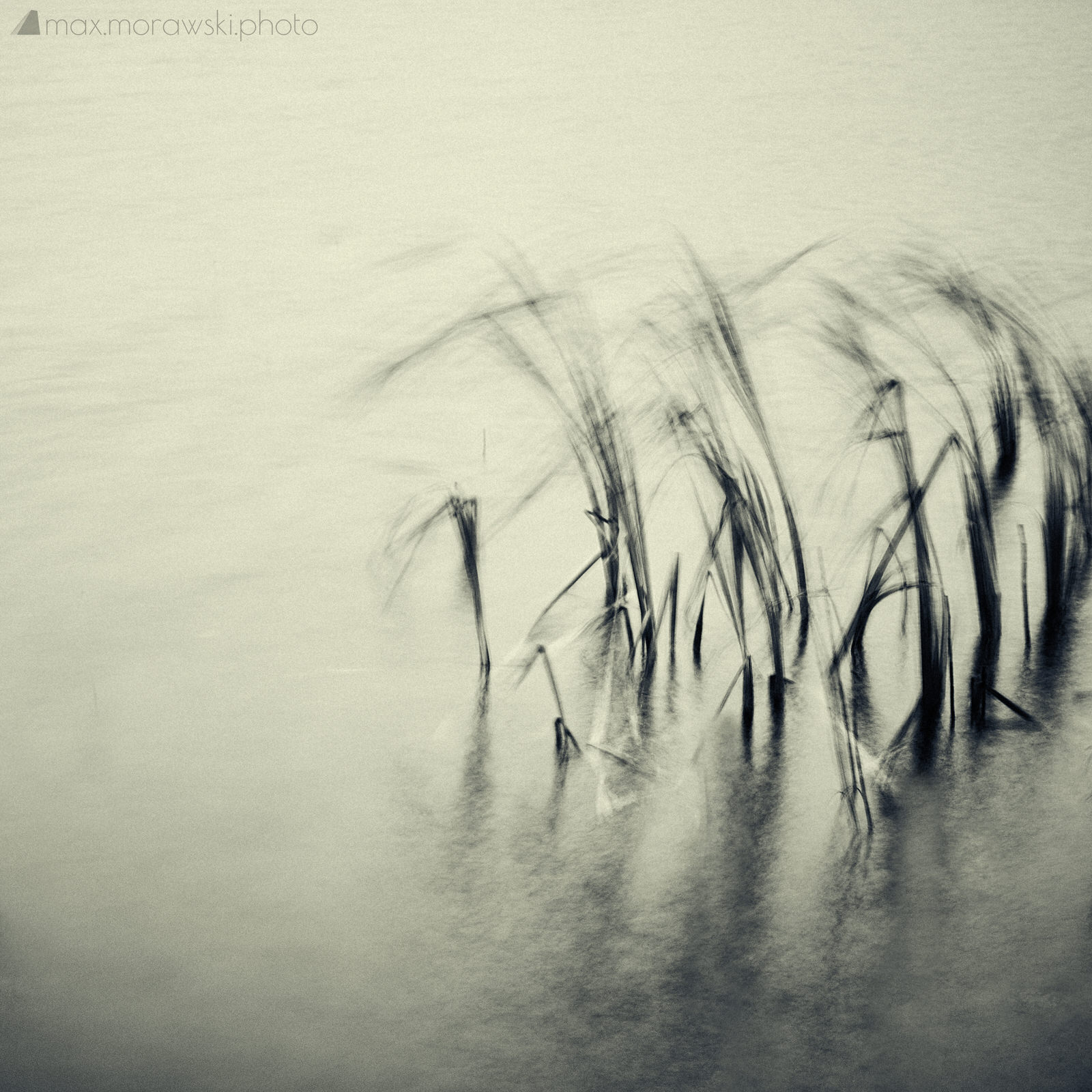 November Reeds; Charcoal study #4