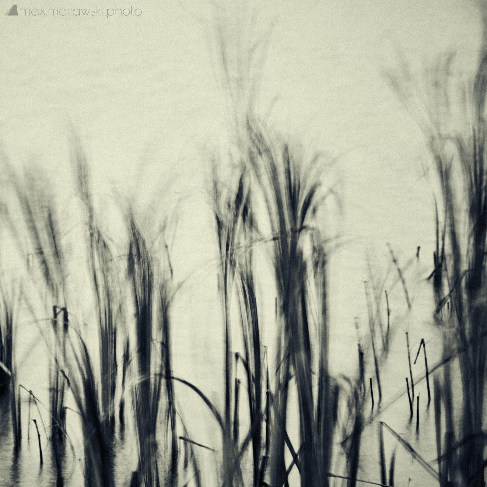 November Reeds; Charcoal study #2
