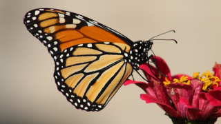 Life of the Butterfly