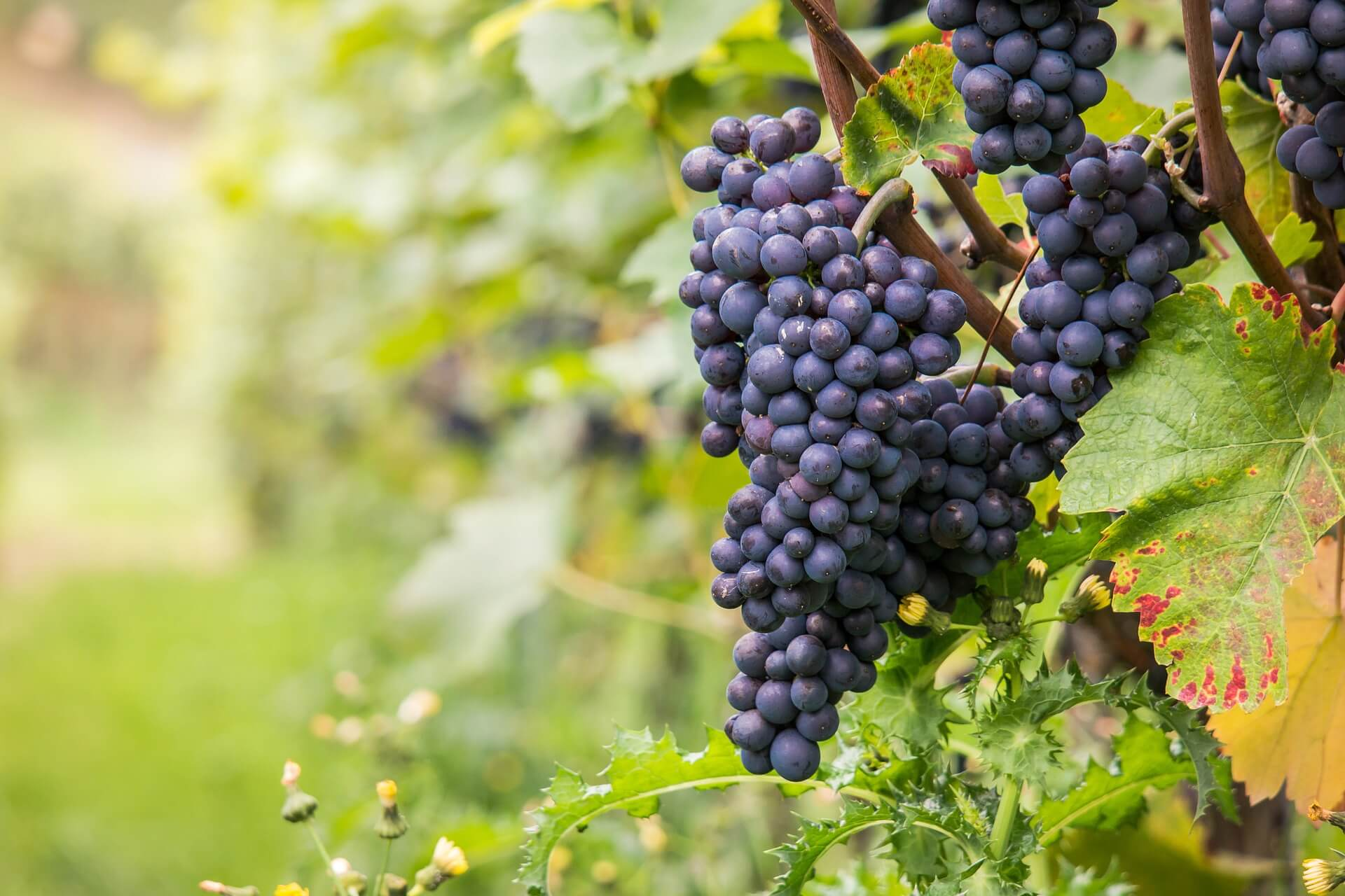 Pinot noir grapes in the Otago Peninsula