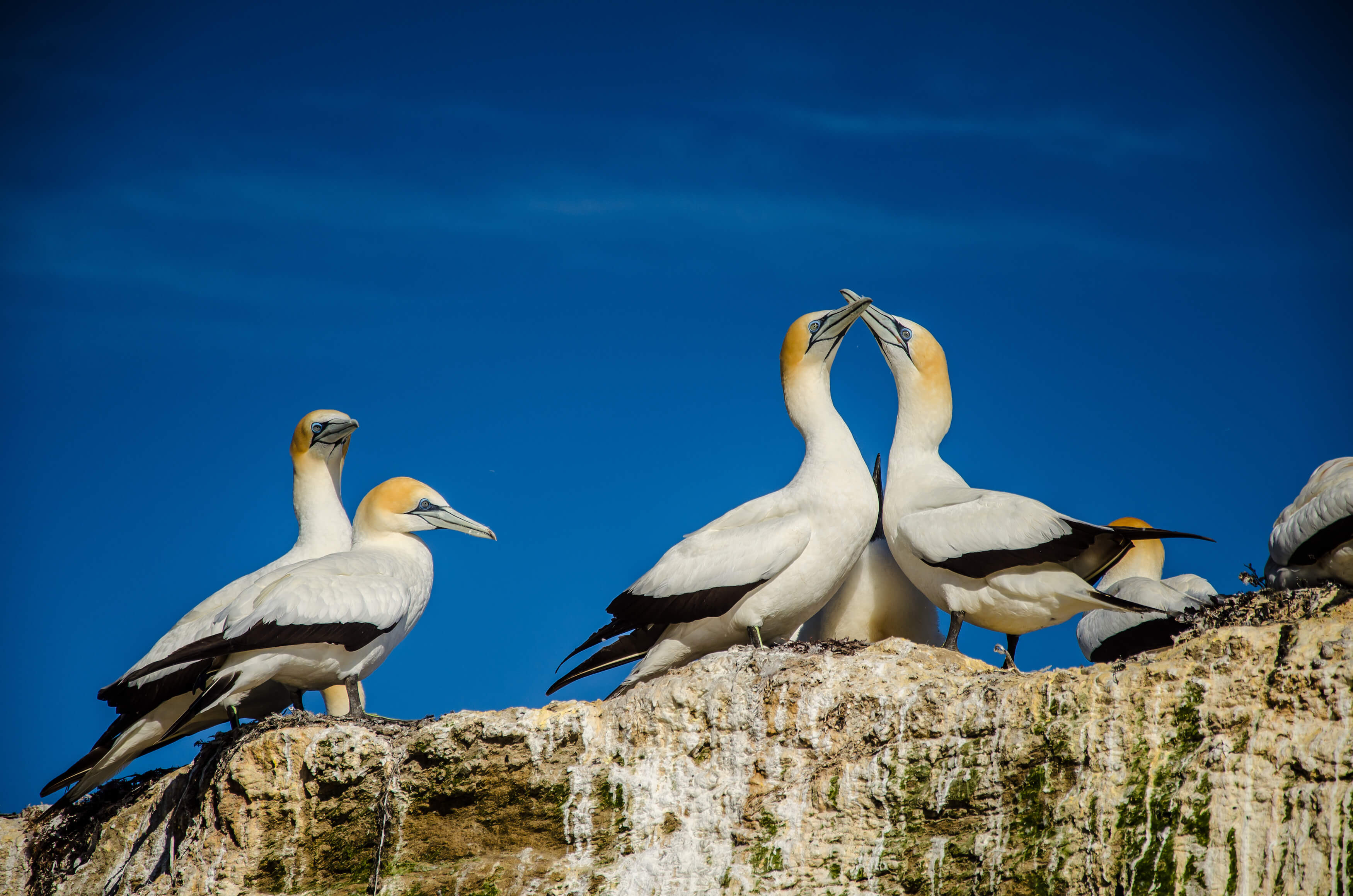 Gannet Colony at Cape Kidnappers in Hawkes Bay near Hastings on North Island, New Zealand