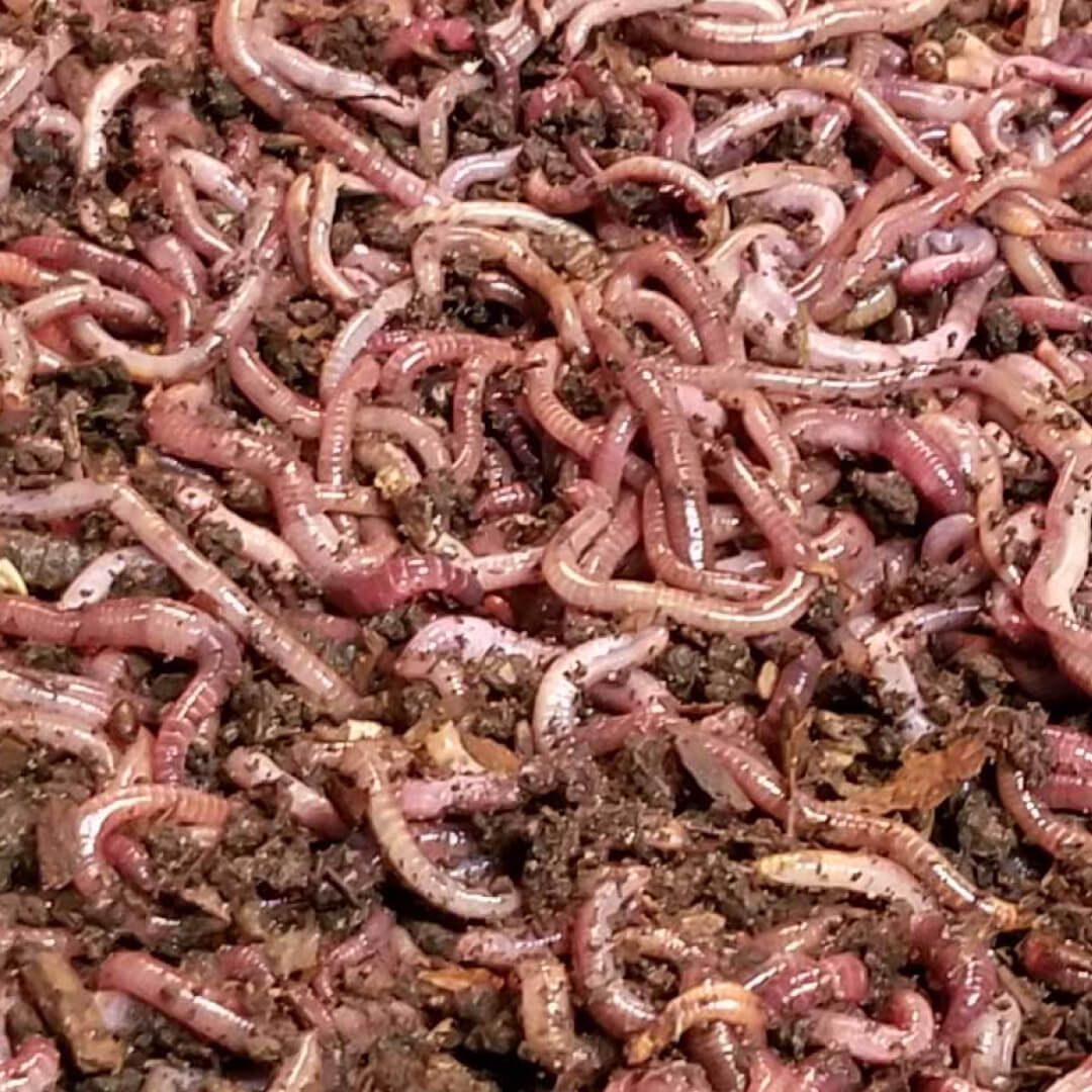 Compostng Worms