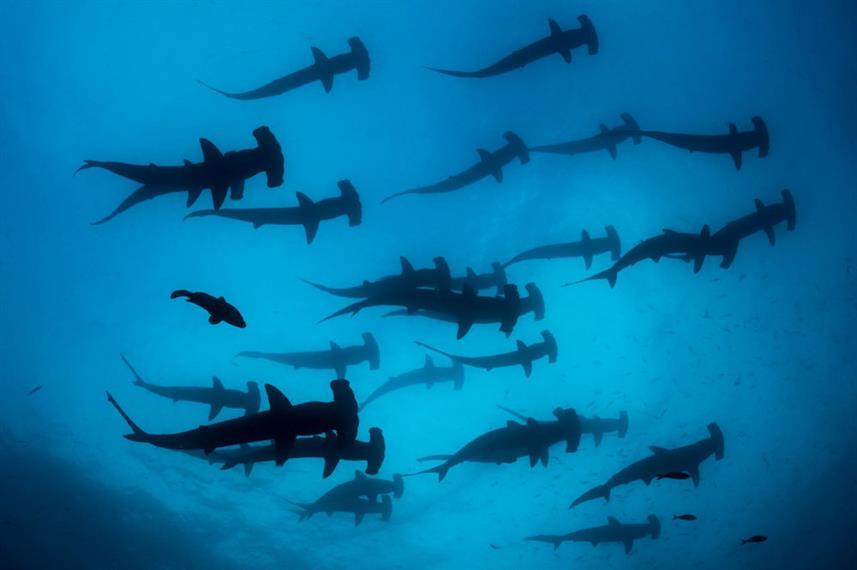 Galapagos - Liveaboard - School of hammerhead sharks