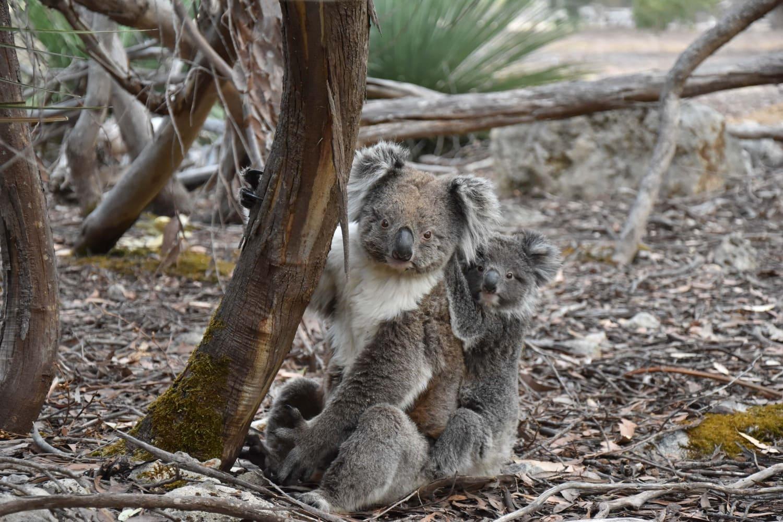 Wildlife (Koala) in Australia