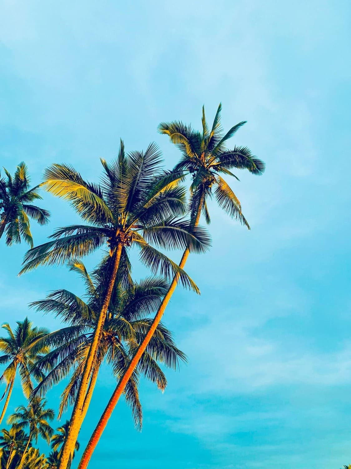 A tropical view of the palm trees on Fiji