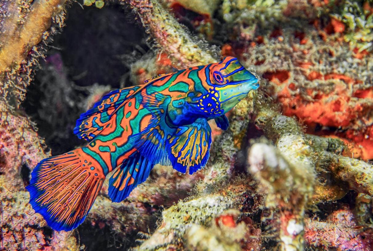 The colorful Mandarin Fish can only be seen in Indonesia around sunset
