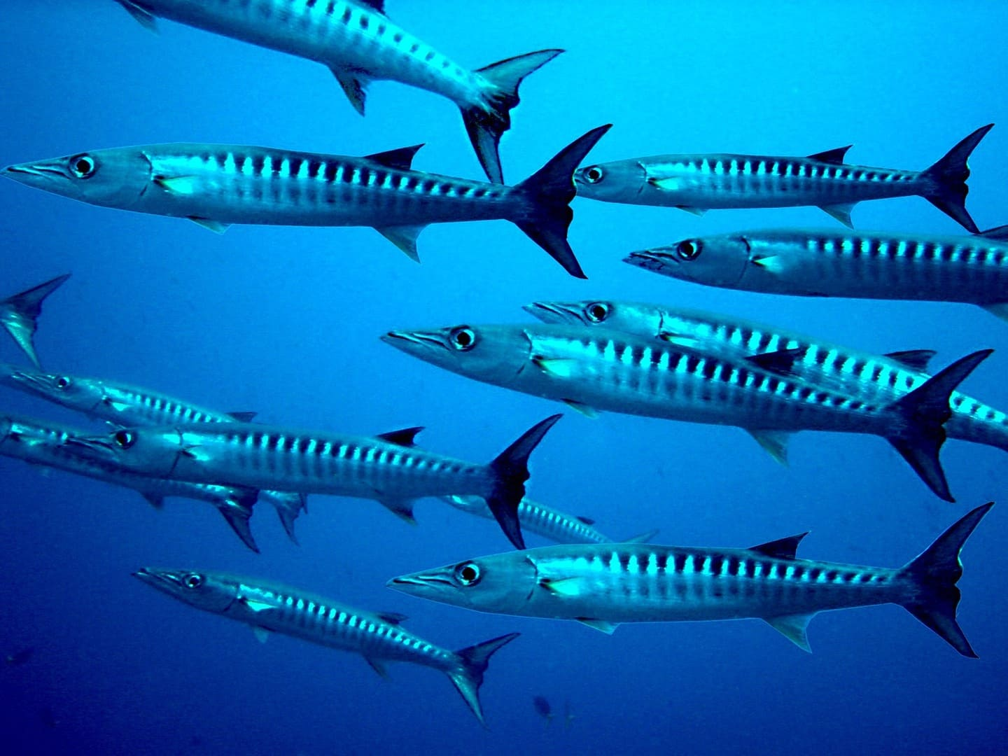 A school of Barracudas in the waters of Malaysia