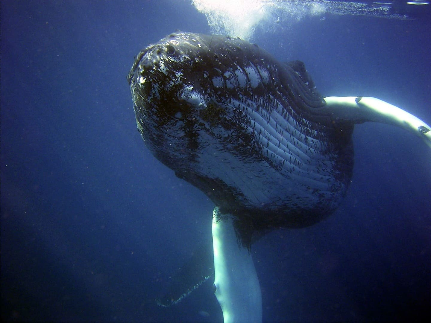 Tonga is know for its sightings of Humpback whales