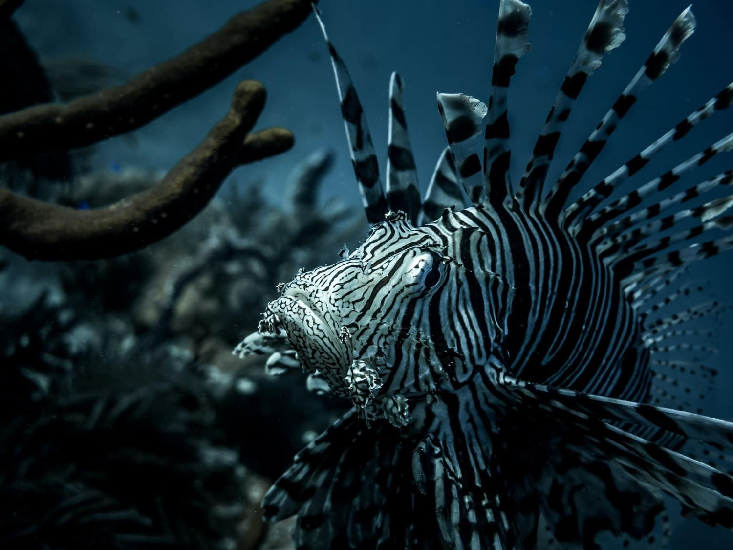 A lion fish in the waters of Turks and Caicos Islands