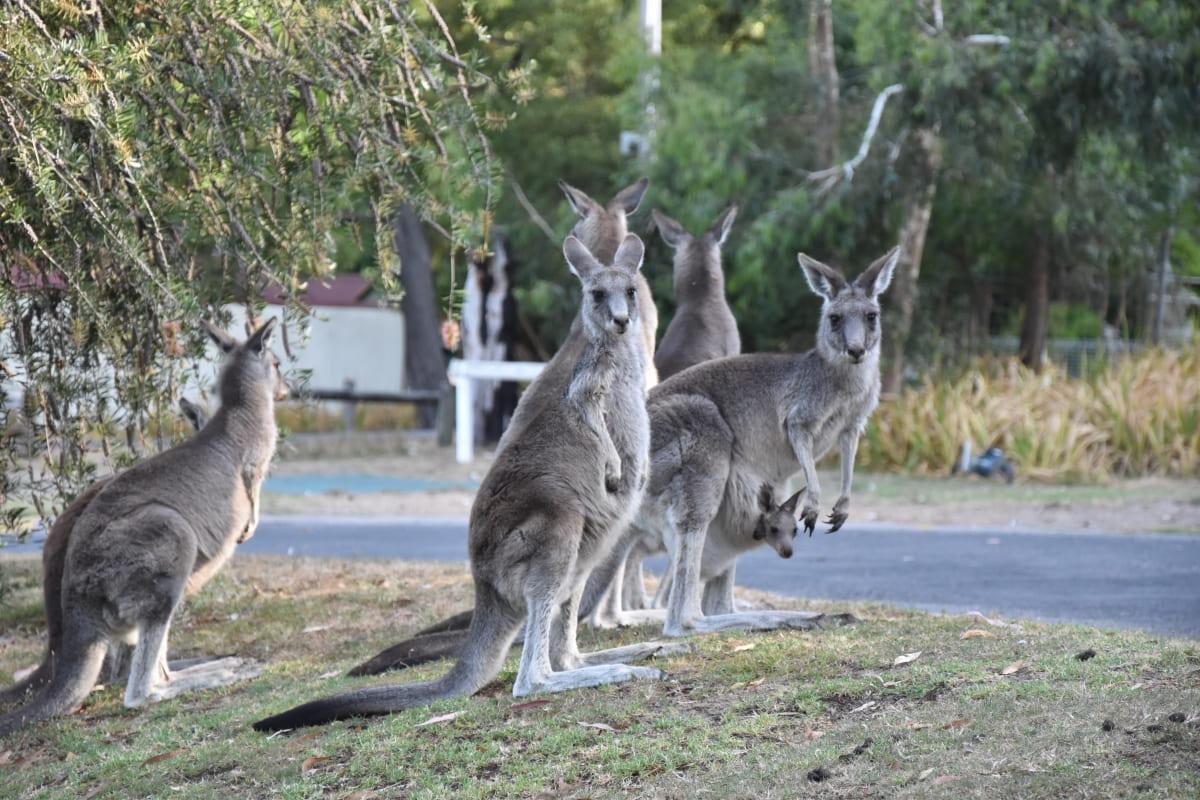 A group of kangaroos in Victoria, Australia