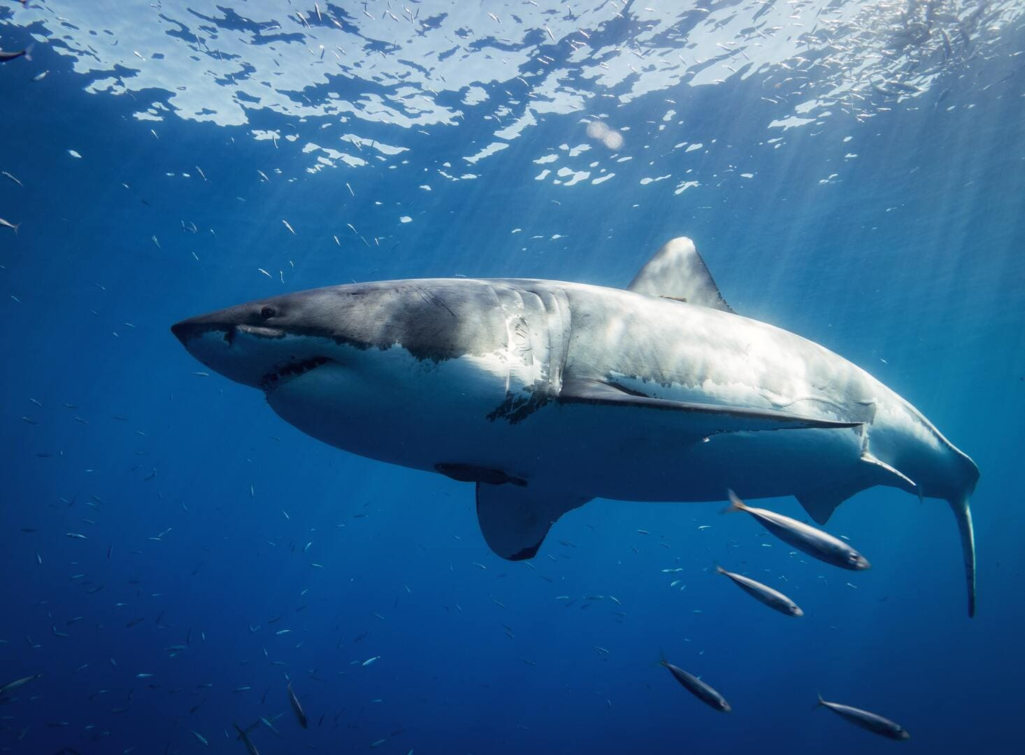 A view of the Great White Shark from below