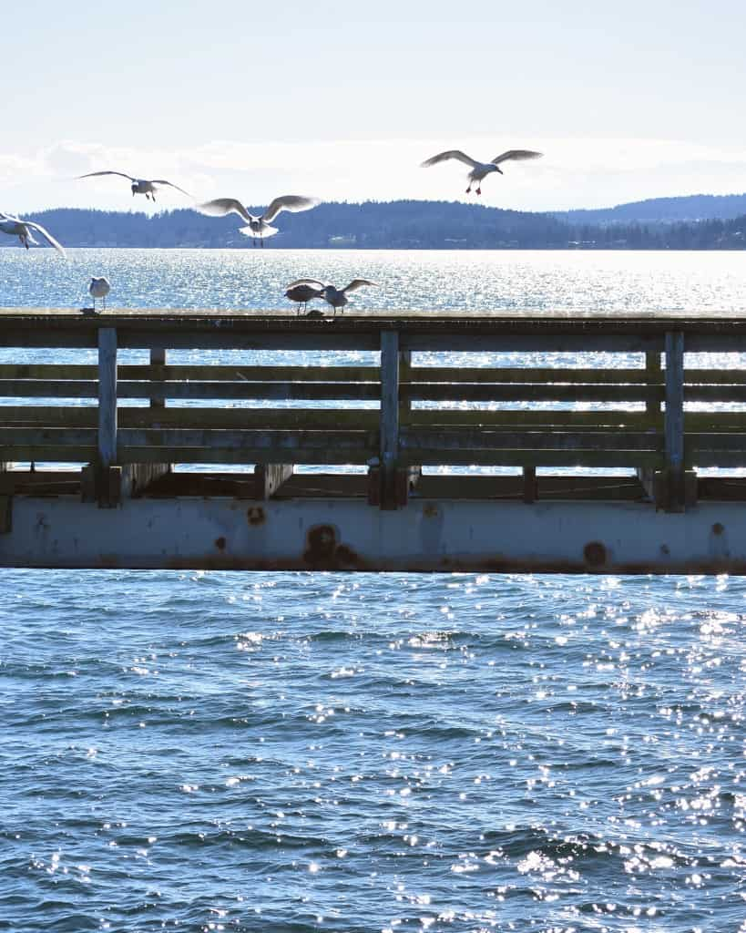 Seagulls flock to the Sidney Pier.