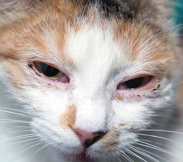 Feline Herpes Virus Eye Discharge