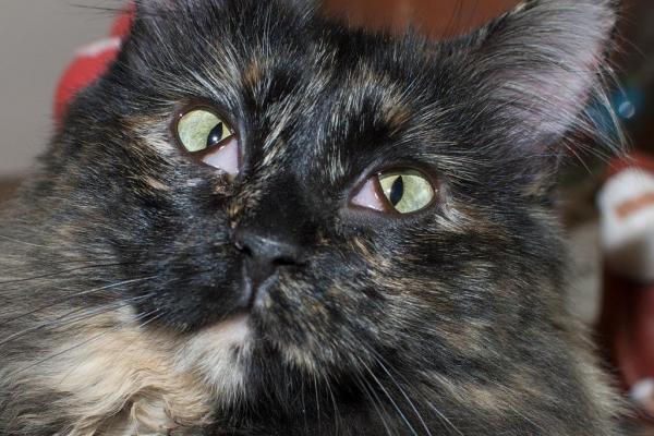 Feline Third Eyelids Showing