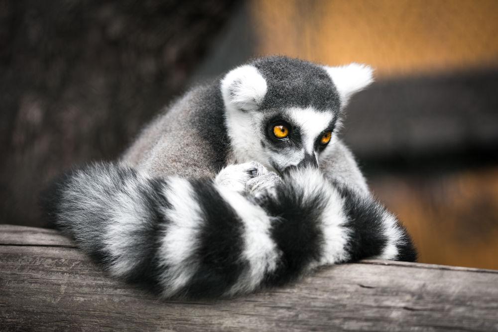 A pensive lemur