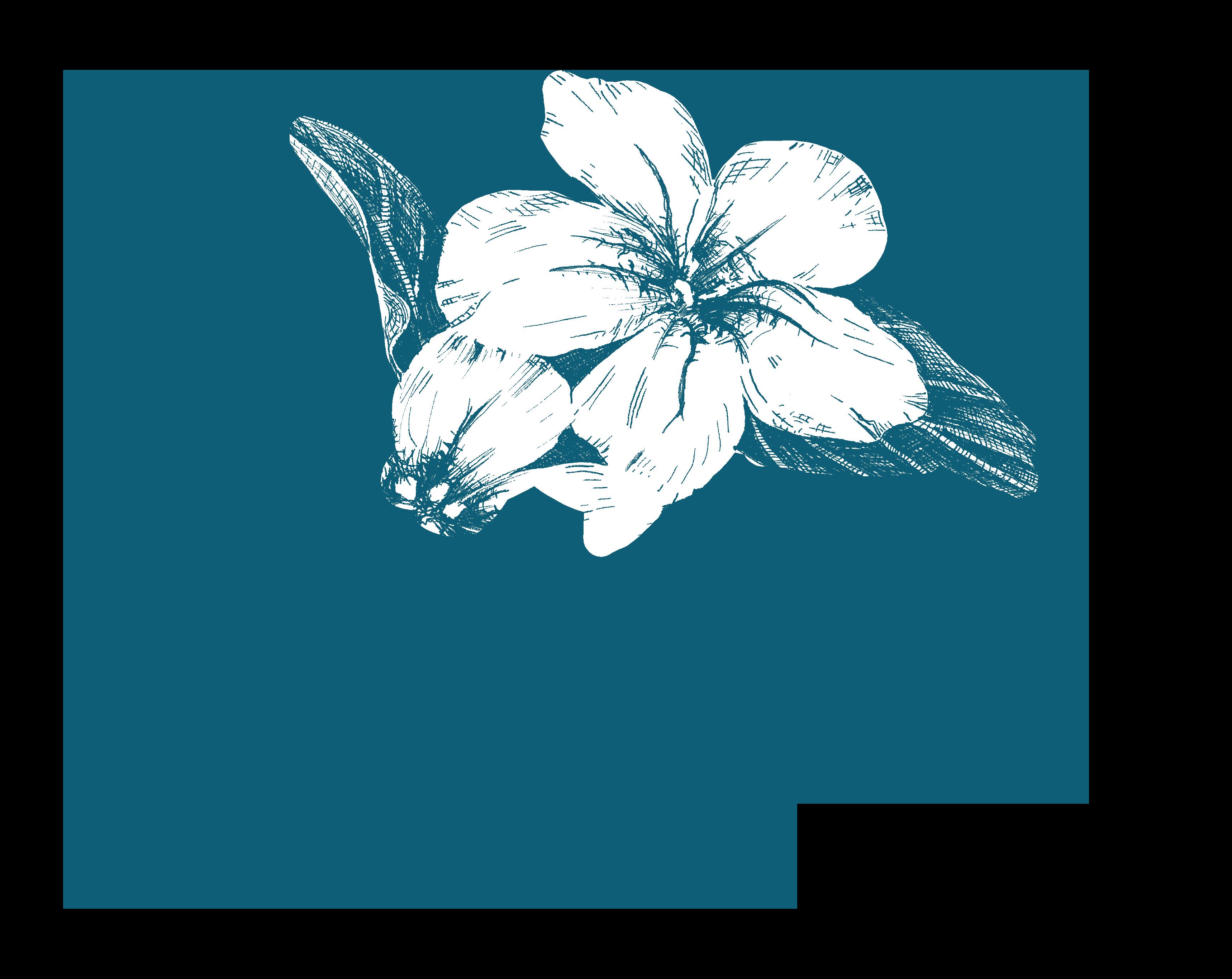 SymphyRuellia caroliniensis flower flora Blackbelt prairie garden drawing