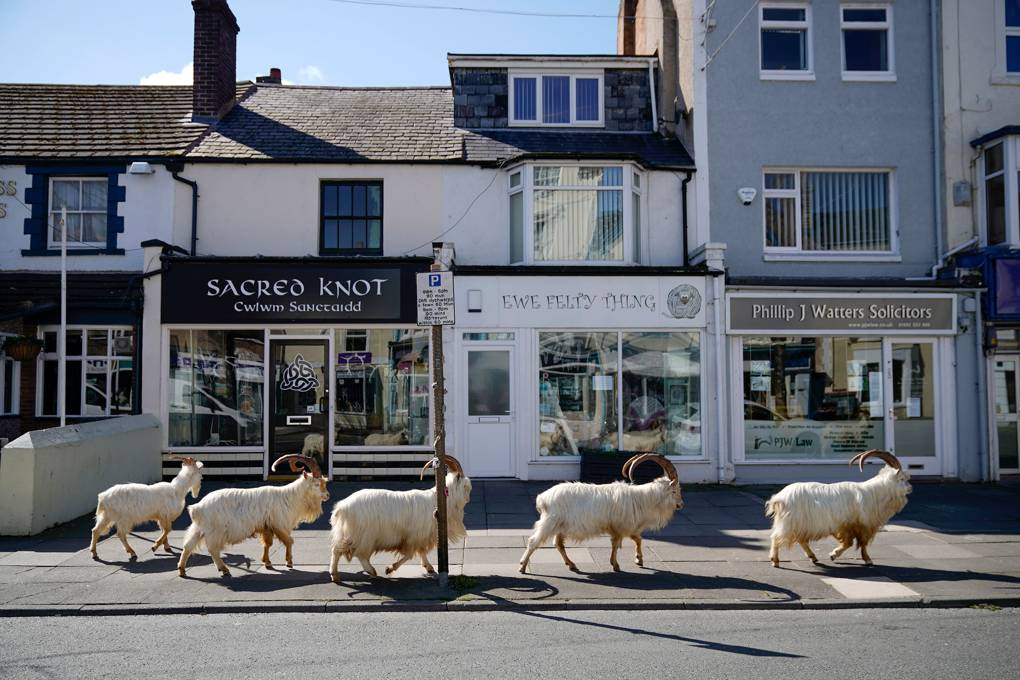 Rams roaming the streets outside storefronts