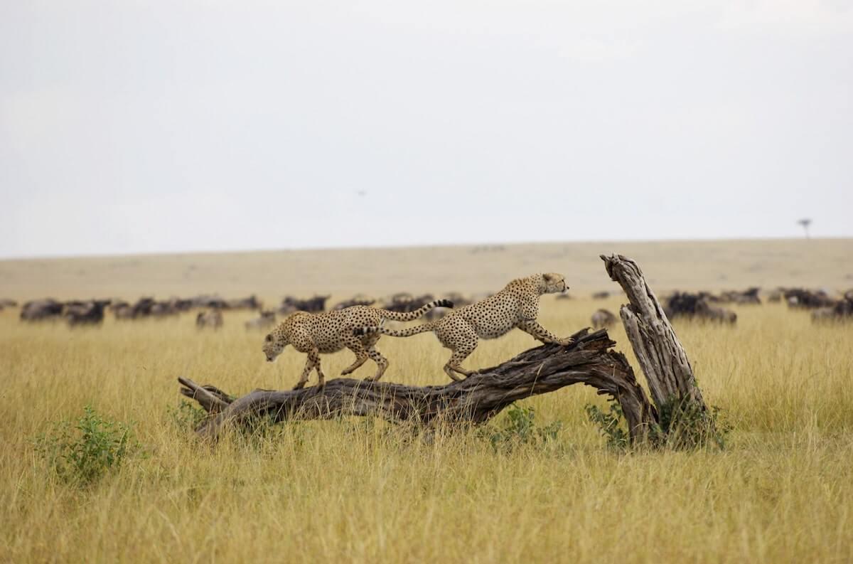 Safari Cheetah