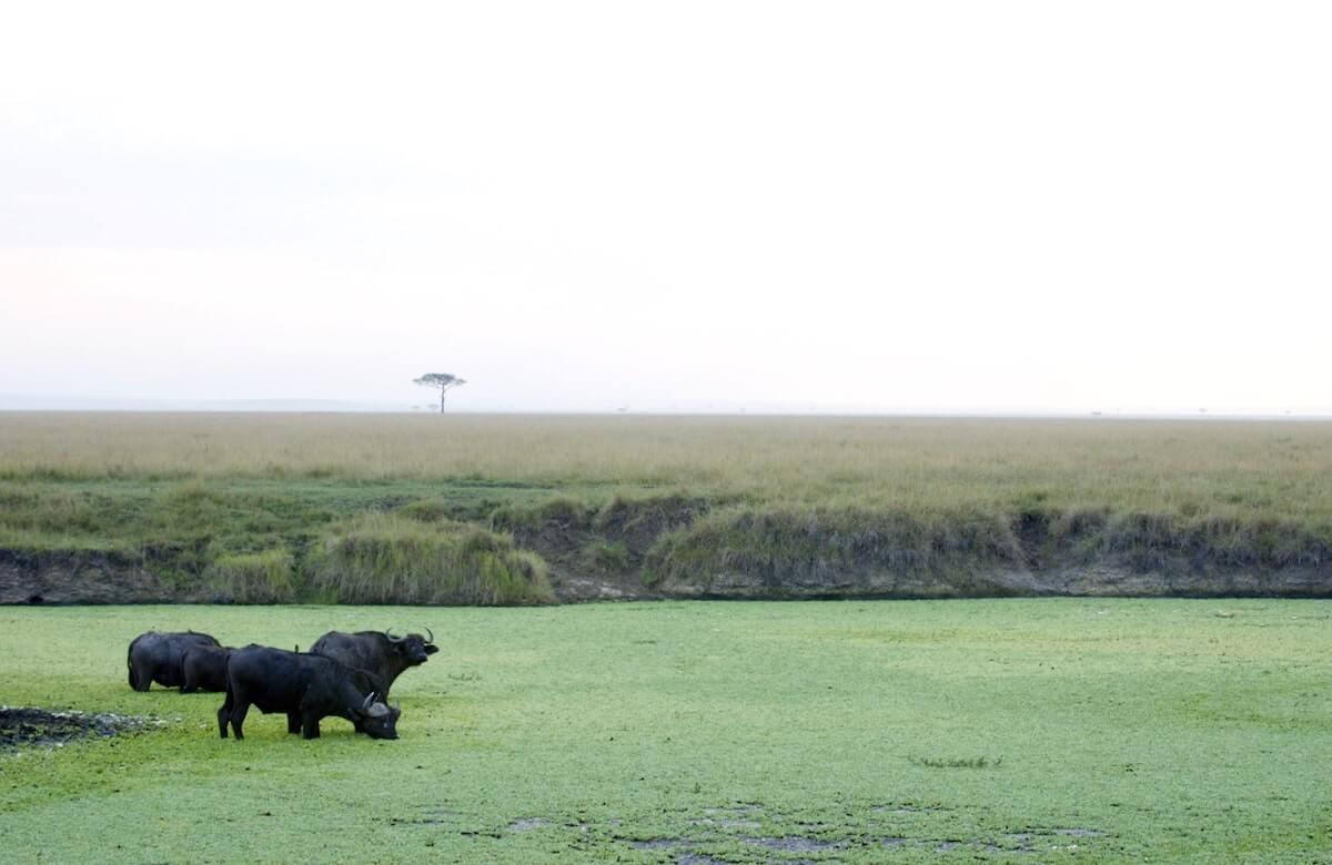 Safari Buffalo 2