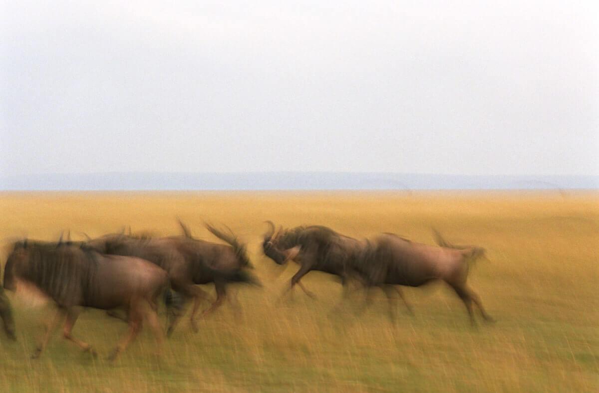 Safari Wildebeest
