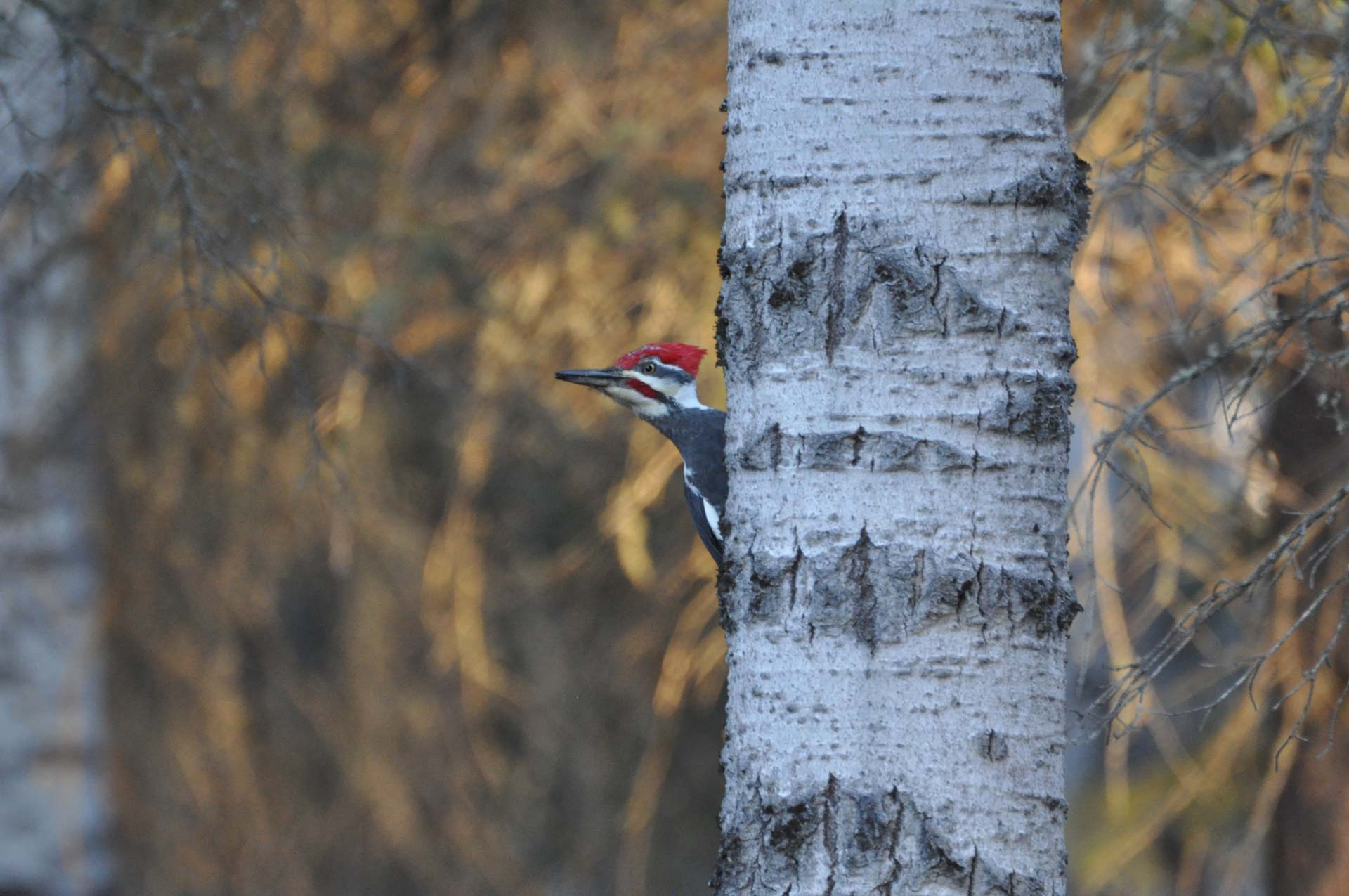 A woodpecker perched on a birch tree.