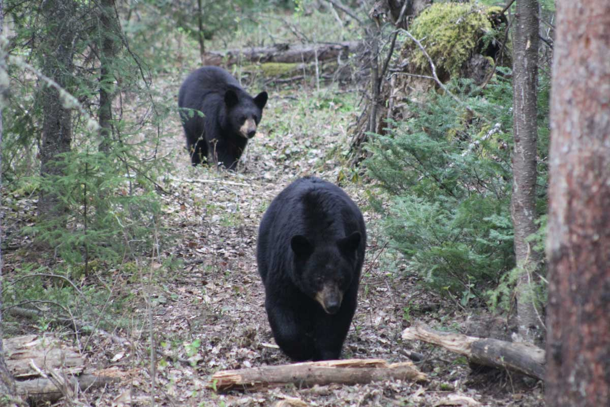 Two black bears walking down a path in the forest, heading toward the camera.