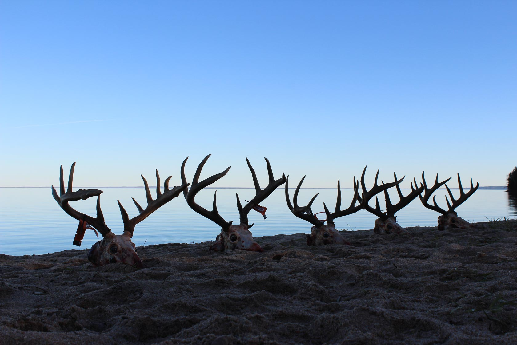 Several skulls of antlered deer are lined up on the beach along Smoothstone Lake in Saskatchewan, Canada.