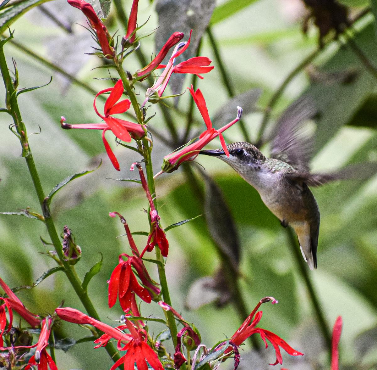 Ruby-throated Hummingbird with Cardinal Flower
