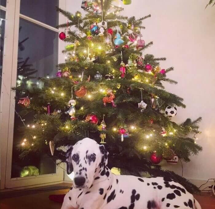 Dalmatiner liegt vor einem Weihnachtsbaum