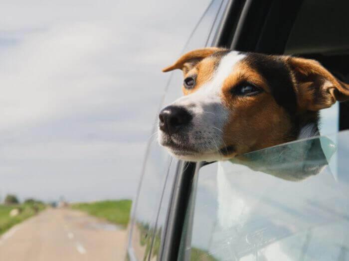 Balu der Beagle bei einer Autofahrt