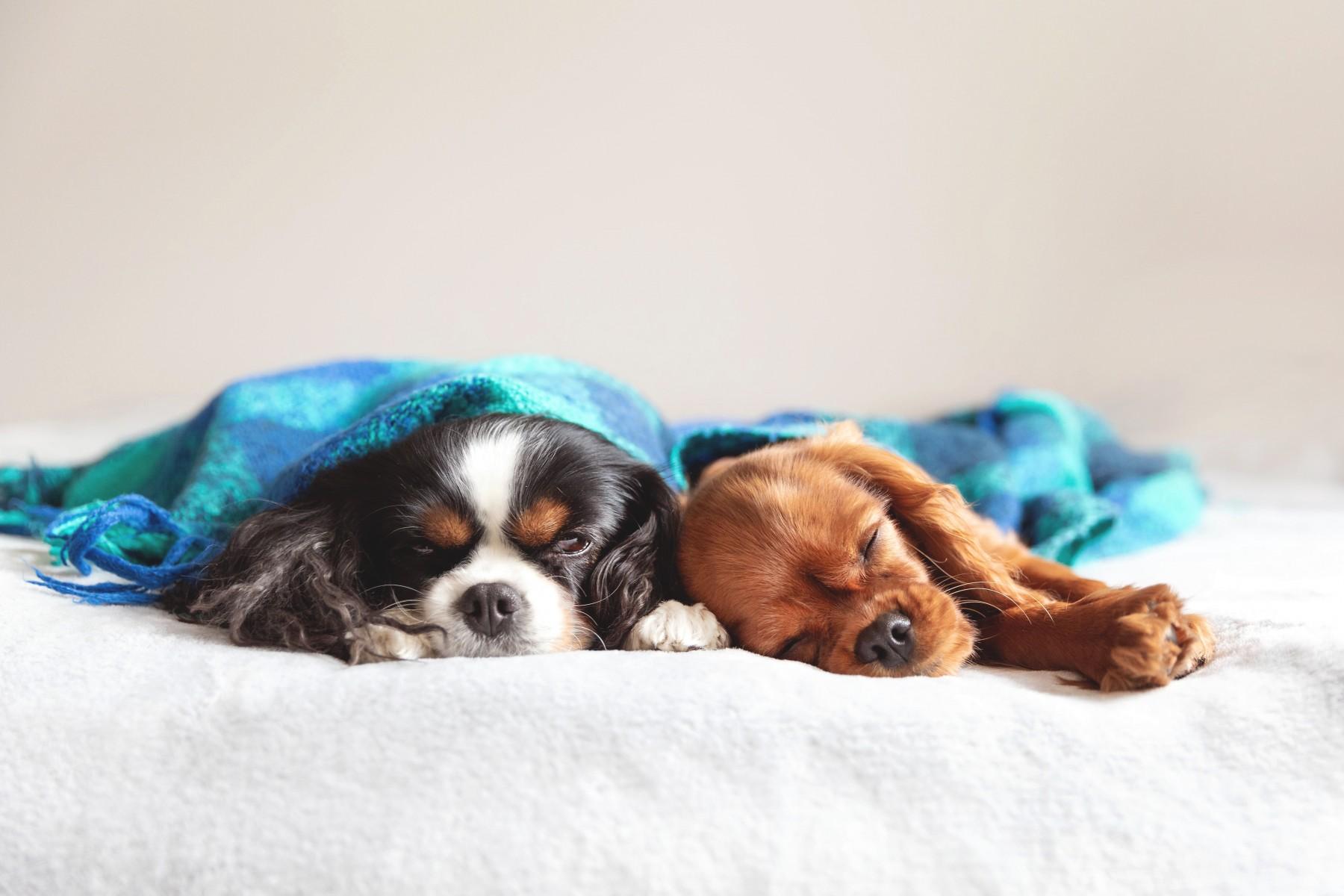 Hunde am schlafen