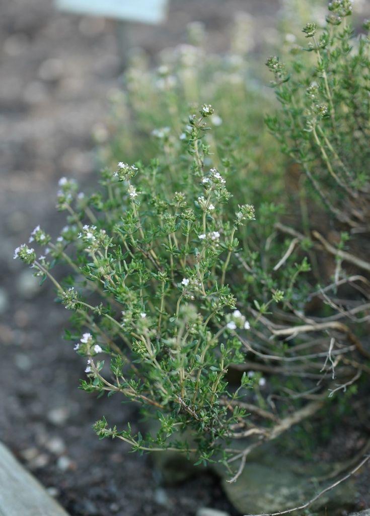 Thymian - einfache pflege und toller Duft