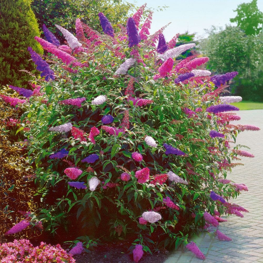 Sommerflieder, Schmetterlingsstrauch (Buddleja davidii)