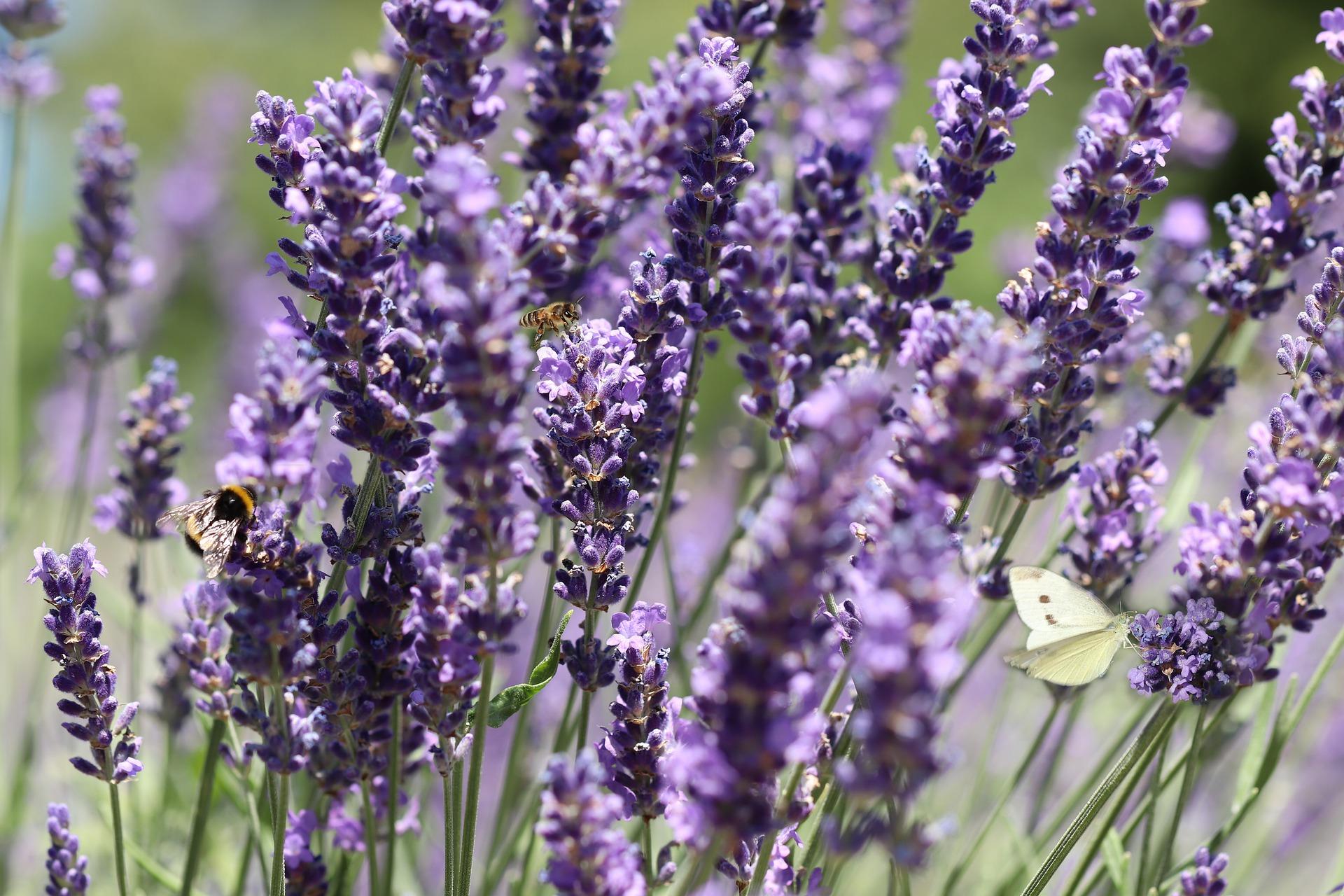gartentrends 2021 lavendel desmondo