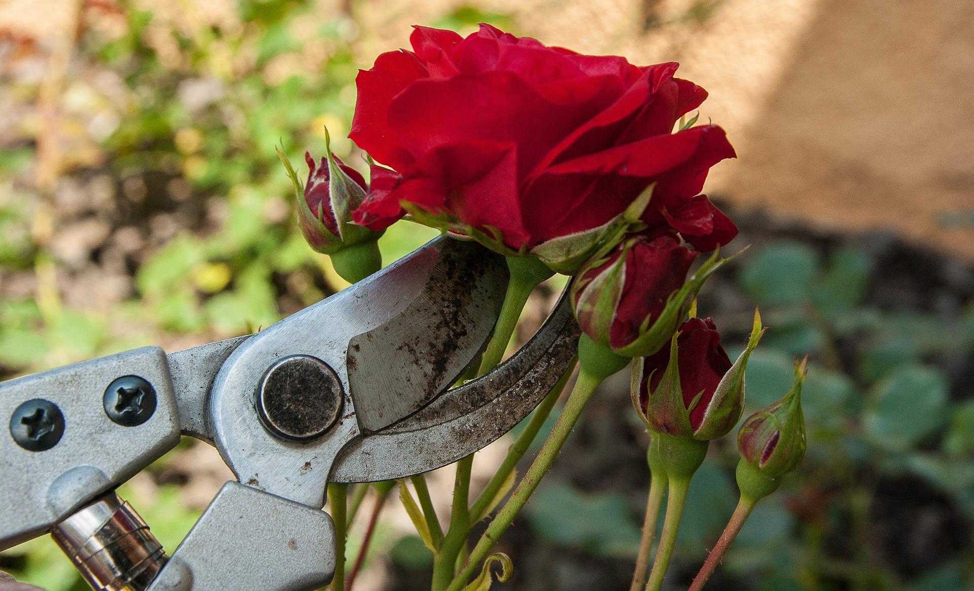gartentrends 2021 rosen schneiden desmondo