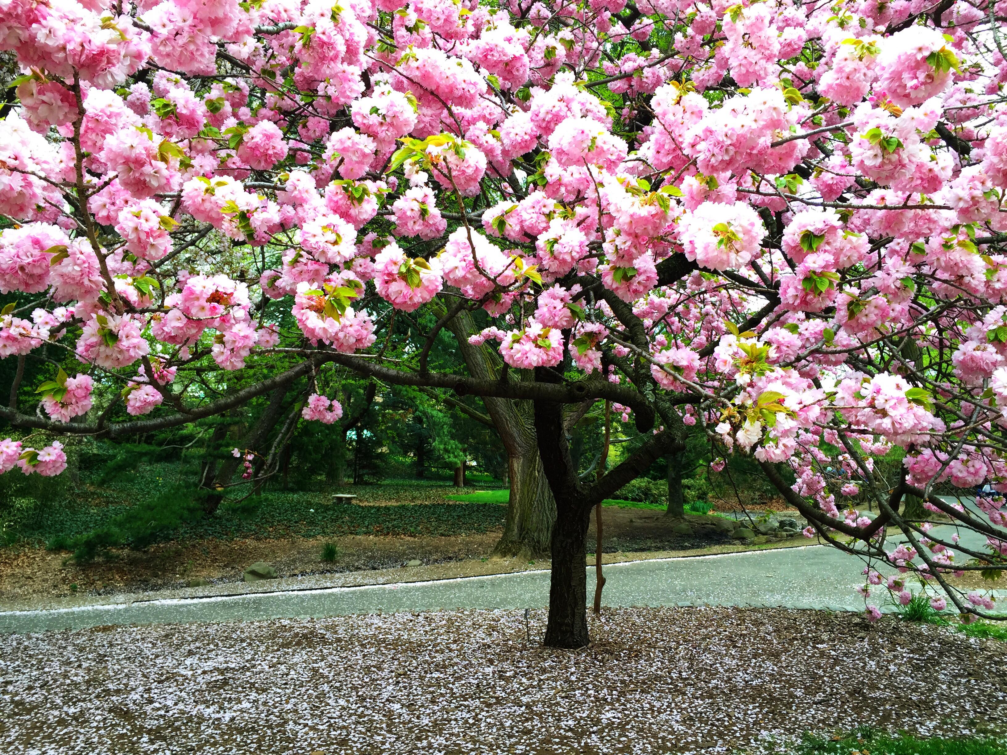 Kirschbaum pflegen