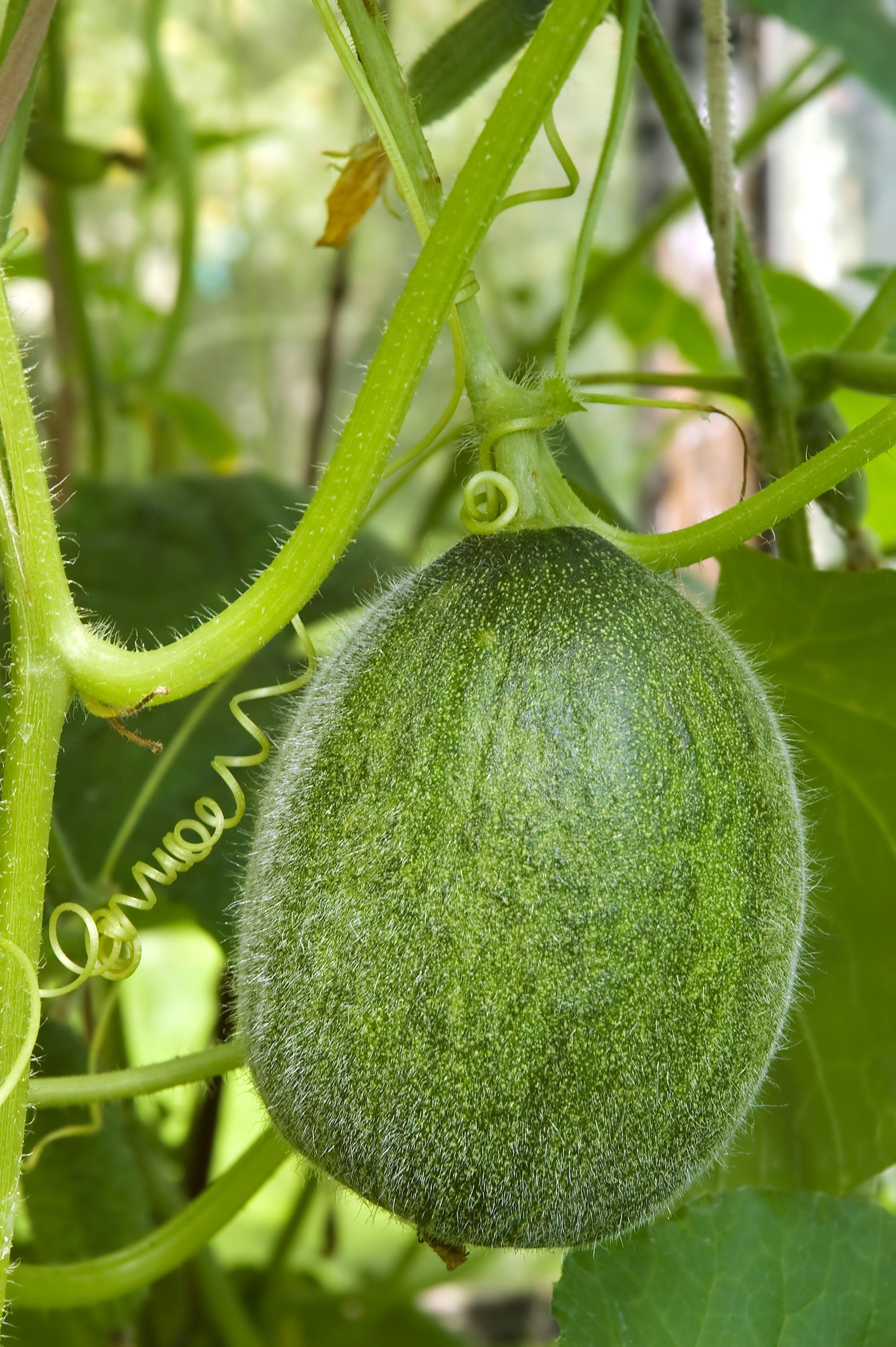 wassermelone pflanzen, pflegen und ernten, desmondo