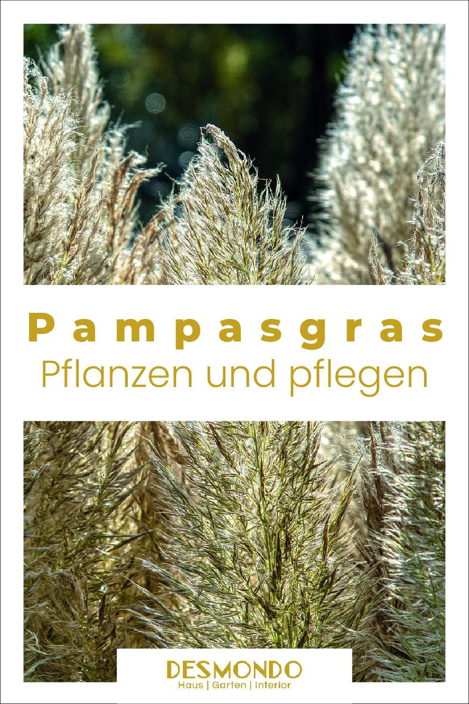 Pampasgras pflanzen und pflegen.