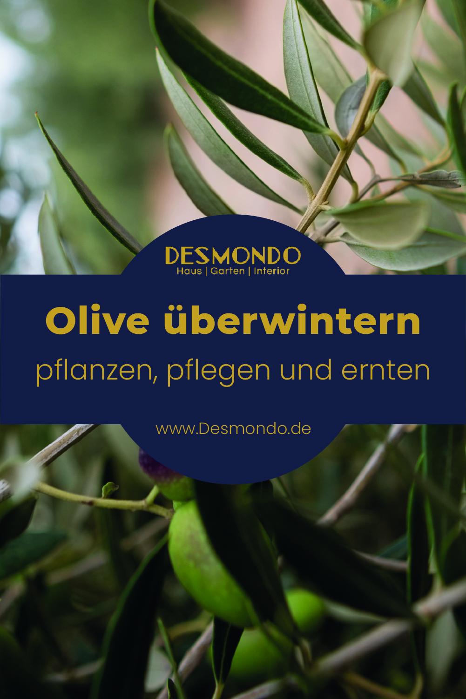 Olive überwintern - Darauf solltest du achten