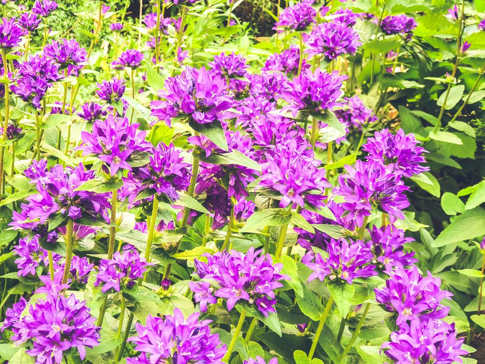 Glockenblume vielseitig und unkompliziert zu pflegen