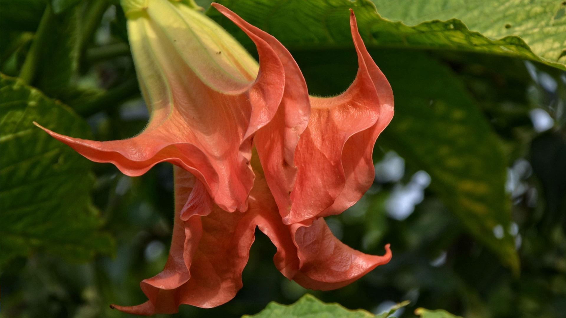 rote engelstrompete pflegen pflanzen desmondo