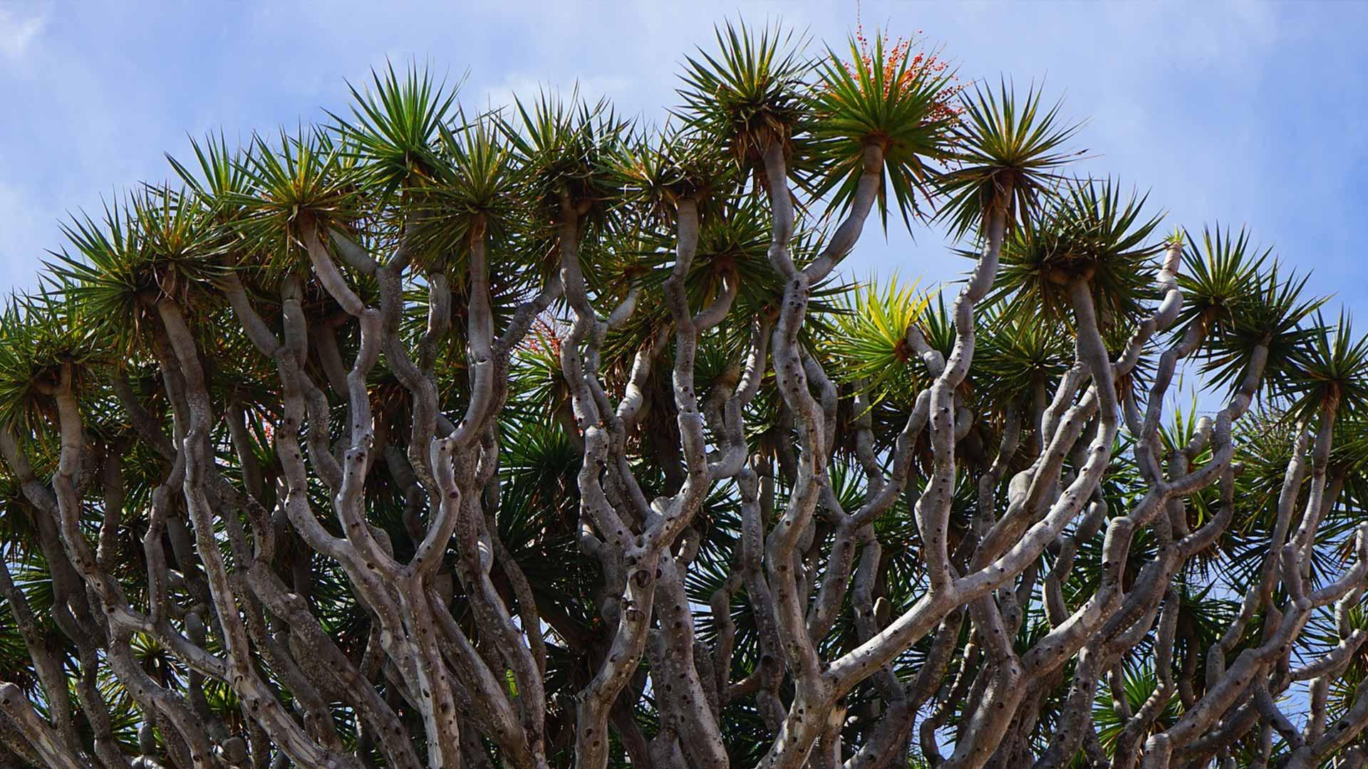 drachenbaum pflanzen pflegen desmondo