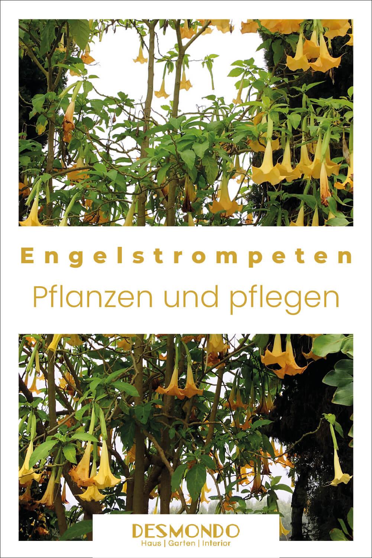 engelstrompete pflegen pflanzen desmondo