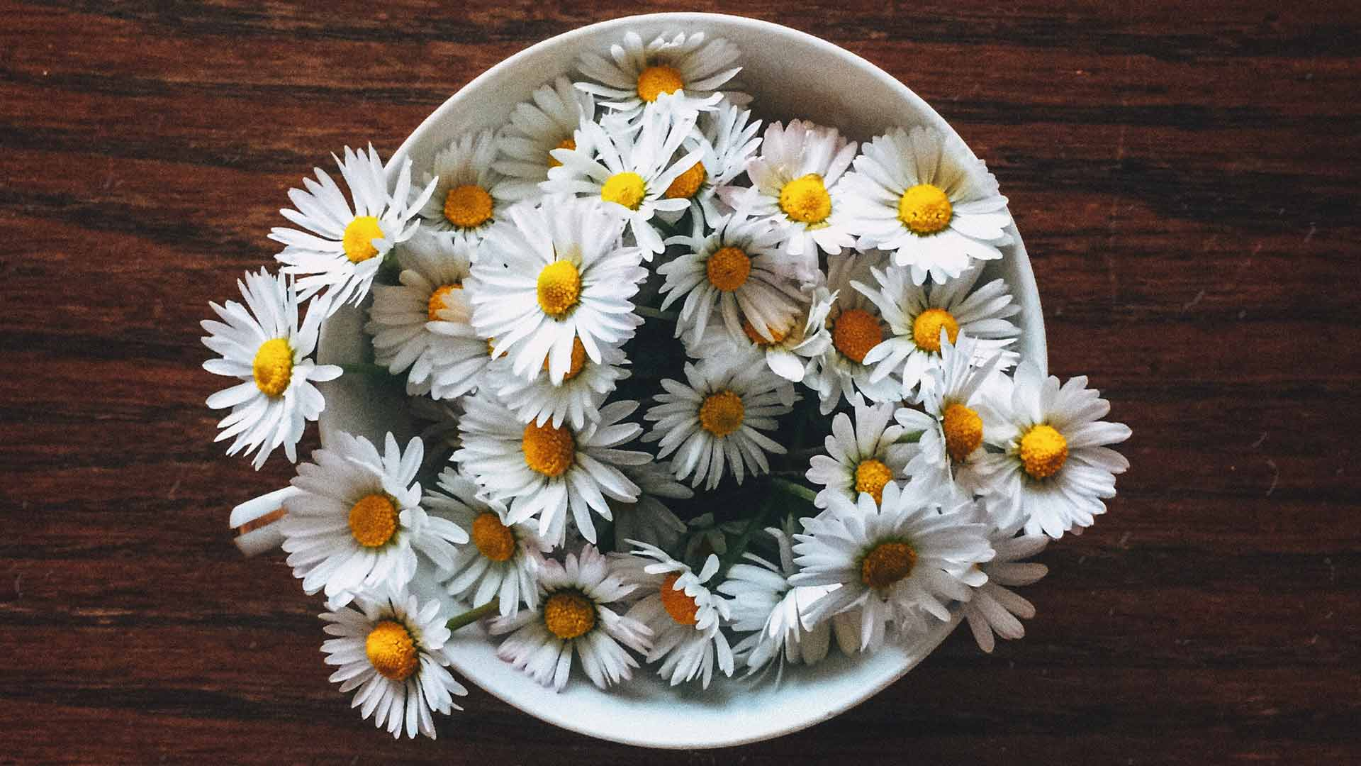 Gänseblümchen Pflanzen und Pflegen. So geht's desmondo garten