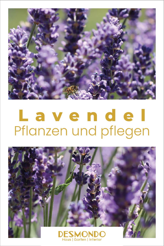 Lavendel pflanzen: so viele Verwendungsmöglichkeiten einfach desmondo garten